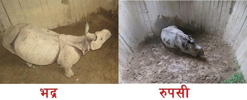 नेपाल सरकारले गैंडा उपहार दिंदा स्थानीय सरकारलाई आपत्ति