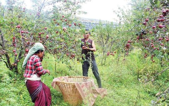 जुम्लाका किसान स्याउ टिप्नमा व्यस्त