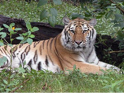 अमेरिकामा मान्छेबाट बाघ 'कोरोना संक्रमित'
